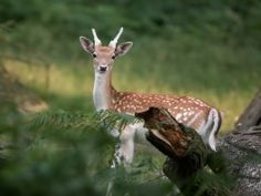 Un bonito y joven ciervo