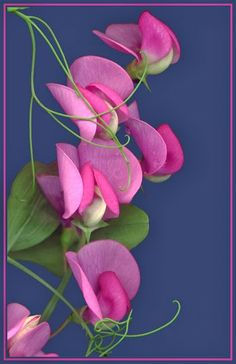 """Sweet Pea ~by Judy Stalus """"---About five years ago I began scanning flowers directly into the computer."""