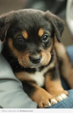 Little rotty