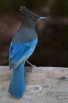 Steller's Jay (Cyanocitta stelleri). It occurs in coniferous forest over much of the western half of North America from Alaska in the north to northern Nicaragua.
