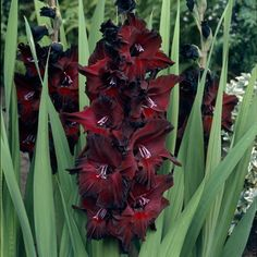 Black Beauty Gladiolus (Gladiolus x hortulanus 'Black Beauty') rules the summer garden like a queen Gladiolus Bulbs, Gladiolus Flower, Garden Beds, Garden Plants, Fence Garden, Gothic Garden, Black Garden, Black Flowers, Gothic Flowers
