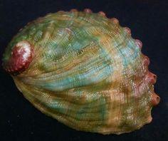 Shell del olmo