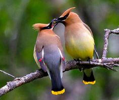 Cedar Waxwings   Most Beautiful Pages