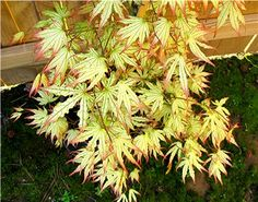 Acer palmatum 'Peaches & Cream'. Shrubby spreading growth habit. Spring colors: Cream leaf with pink edge. Then cream with green veins Fall colors: Gold and orange. Grows to 10 ft tall and 10 ft wide.