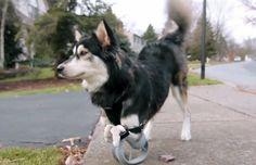 Derby es un Husky Siberiano que nació con una malformación en sus patas delanteras la cual le ha impedido caminar con normalidad toda su vida. Este perro fue adoptado de un refugio de animales por Tara Anderson, directora en 3D Systems, una compañía especialista en impresión 3D. Tara se puso a la tarea de diseñar…