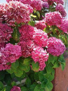 A csoda szép hortenzia három titka – Balkonada Outdoor Spaces, Indoor Outdoor, Horticulture, Gardening, Green, Plants, Outdoor Living Spaces, Garten, Outdoor Rooms
