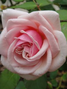 'Adam' | Tea Rose. Adam (France, circa 1838) | Flickr - © Cynthia Crawley