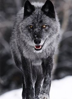 Gaston Maqueda took this photo of a grey female member of the Bow Valley wolf pack in Canada's Banff National Park. He said it was an amazing experience to see such a creature in the wild. Wolf Images, Wolf Photos, Wolf Pictures, Wolf Love, Wolf Spirit, My Spirit Animal, Beautiful Wolves, Animals Beautiful, Tier Wolf