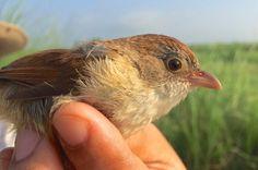 Pássaro considerado extinto desde 1941 é visto novamente