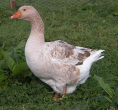 American Buff geese are larger than the Sebastopols, and have brown feathers, hazel eyes and orange feet and beaks. They originated in the USA, mainly from German strains. Buffs are a docile, calm breed, and make very good parents.