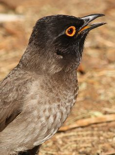 African Red-eyed Bulbul or Black-fronted Bulbul, Pycnonotus nigricans, at Suikerbosrand Nature Reserve, Gauteng, South Africa @@