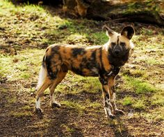 African Wild Dog by *Shadow-and-Flame-86