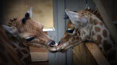 Adorable Animals Locking Lips (PHOTOS) - weather.com