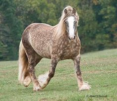 Silver Chocolate Dappled Draft Horse: I think this horse is a really rare breed:)