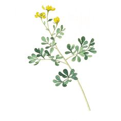 Rue is such a meaningful herb.