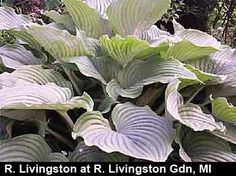 "Hosta 'Komodo Dragon' (M. Seaver NR)  Zone 3-8   Height 30""   Cultue Light Shade  The heavily-rippled, dark green, pointed leaves stretch outward to form an impressive, upright 7' wide Hosta fluctuans-like clump. Don't plant one of these unless you have plenty of room. The giant clumps are topped in midsummer with 4' tall scapes, laden with light lavender flowers...a hummingbird magnet."