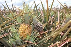 Things to do in Maui - Pineapple Farm tours and so many other things on this site