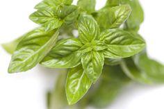 Fresh basil leaves Fresh Basil Leaves, Botany, Spinach, Vegetables, Plants, Veggie Food, Flora, Vegetable Recipes, Plant