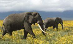 Two African elephant (Loxodonta africana) roaming the flowery grass land, Tanzania. Wild Elephant, Asian Elephant, Elephant Love, Elephants Photos, Save The Elephants, Wyoming, Elephant Species, Happy Earth, Gentle Giant