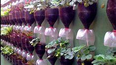 Sistema de gotejamento para plantação de morangos em garrafas PET.