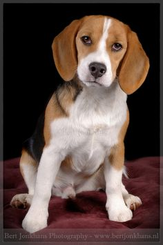 Beagle Bartje
