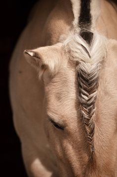 Fishtail braid on a Fjord's forelock. I love this. Gives a different feel than a typical braid! -René