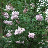 Syringa yunnanensis 'Prophecy'  This species Lilac has been a strong grower for us in the heat of the southeast. The foliage is dark green and thick, and held up through the summer heat in morning exposure, with filtered high shade through the late afternoon.