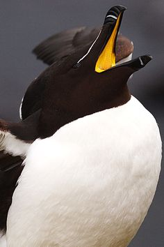RAZORBILL in ICELAND displays incredible orange of its interior mouth.  -- Image by Florence McGinn -- At Latrabjarg Cliffs, Europe's largest sea cliff rookery located in the West Fjords region of Iceland.