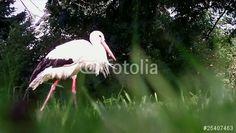 """Laden Sie den lizenzfreien Videoclip """"Stork"""" zum günstigen Preis herunter. Stöbern Sie in unserer Bilddatenbank https://de.fotolia.com/partner/200576682 und finden Sie schnell das perfekte Stockbild/-video."""