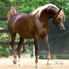 Horse Pedigree Database | Simeon Sehavi | Arabian, Egyptian | Arabian Horse Society of Australia
