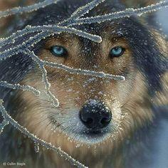 Beautiful Blue Wolf #Wolf