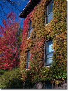 Green Boston Ivy Covered Cottage, Dartmouth Park, Sandwell&: 4 тыс изображений найдено в Яндекс.Картинках