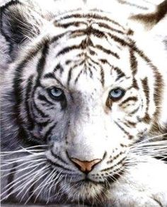 White Siberian Tiger Print ~ For purchase on Amazon, CLICK here: http://dld.bz/Amazon_WhiteSiberianTigerPrint