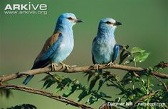 European roller pair, male on right