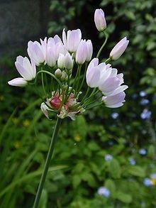 }} Allium roseum, commonly called rosy garlic, is an edible, Old World species of wild garlic. Agapanthus, Allium, Horticulture, Garlic Parmesan Fries, Astrantia, Wild Garlic, Astilbe, California Poppy, Calla Lily