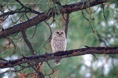 First Barred Owl recorded during the Sisters CBC - 2012 (Via jack-n-jill.net)