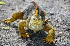 Galapagos land iguana galápago island, island amaz, gallego island, galapagos islands, galapago land, galapago island
