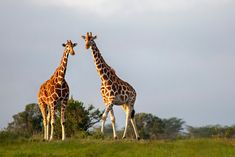 17 Fun Facts About Giraffes (Some are Hilariously Unbelievable) Fun Facts About Giraffes, Giraffe Facts, African Elephant, African Safari, Animal Bones, African Countries, Circle Of Life, Gentle Giant, Animals Of The World