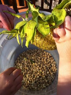 The Lady Wolf: How to Roast Sunflower Seeds in Shell Sunflower Seed Recipes, Sunflower Seeds, Appetizer Dips, Appetizer Recipes, No Dairy Recipes, Preserving Food, Amazing Gardens, How To Dry Basil, Flower Pots