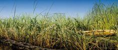 Fototapete Gras (Nr. 7995)  www.berlintapete.de