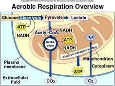Cellular Respiration. Might help me study for my biology.