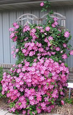 and Pruning of Clematis. I love Clematis!Care and Pruning of Clematis. I love Clematis! Garden Yard Ideas, Lawn And Garden, Garden Projects, Garden Art, Garden Plants, Garden Landscaping, Garden Design, Landscaping Ideas, Garden Seeds