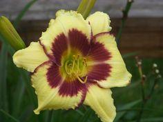 Photo of Daylily (Hemerocallis 'Autumn Jewels') uploaded by mattsmom
