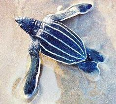 All about Leatherback Sea Turtles