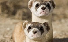Black-footed Ferret Picture