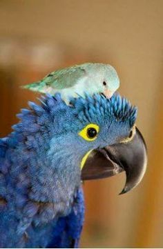 Parrotlett on Hyacinth Macaw Parrot's Head. This is just way too fantastic! Orgasmically adorable!