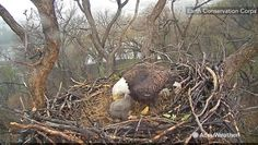 A bald eagle covers her chick to protect it from an EF-0 tornado that touched down 1 mile away from the nest on April 6 in Washington D.C.