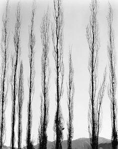 Poplars 1954 Brett Weston. American (1911 - 1993)
