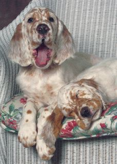 as soon as i'll have time and room for a pet, one of this kind will be mine (Lawerack/Laverack/Llewellin/Blue Belton) English Setters Cute Puppies, Cute Dogs, Dogs And Puppies, Doggies, Dachshunds, English Setter Puppies, Irish Setter, Beautiful Dogs, Dog Art