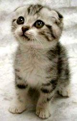 """Kevin - Did a search for """"Scottish fold kitten,"""" saw this photo, named the cat Kevin (no idea of her/his real name, but Kevin just feels right), look at it sometimes, amazingly cute cat"""